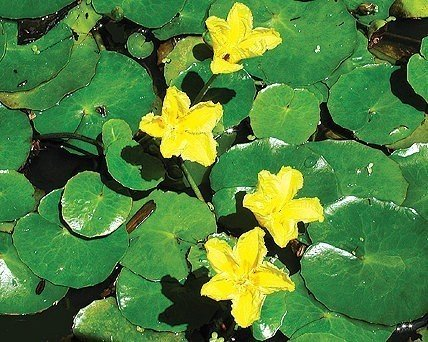 Low growing pond plants hardy pond plants for Perennial pond plants