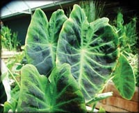 Tropical Pond Plants - Imperial Taro