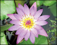 Tropical Pond Plants - Tina